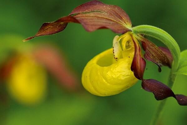 Растения Куршской косы - Башмачок настоящий