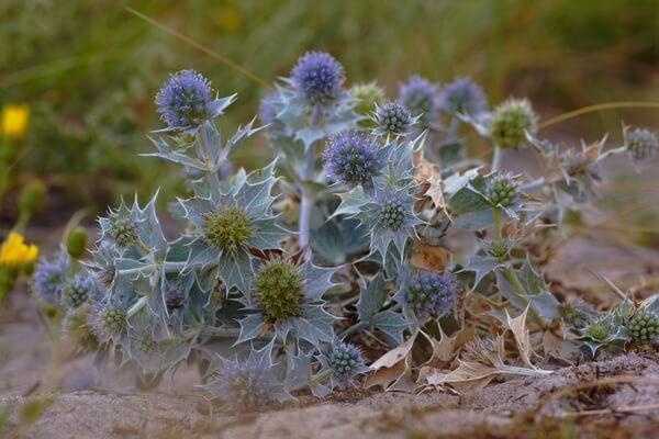Растения Куршской косы с фото и описанием - Синеголовник приморский