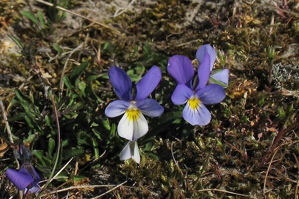 Растения Куршской косы с фото и описанием - Фиалка приморская