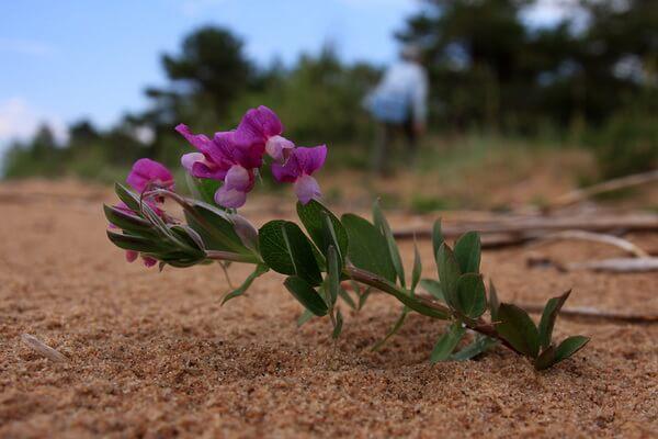 Растения Куршской косы с фото и описанием - Чина приморская