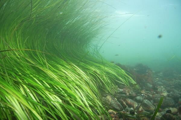 Растения Куршской косы с фото и описанием - Взморник морской
