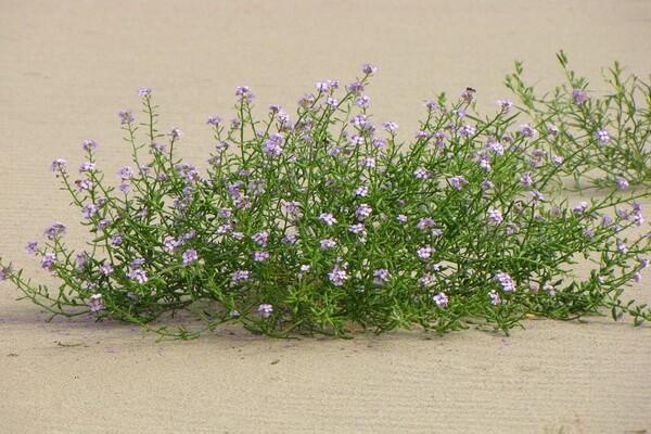 Растения Куршской косы с фото и описанием - Морская горчица балтийская