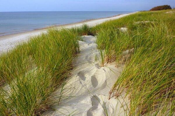 Растения Куршской косы с фото и описанием - Песколюбка песчаная