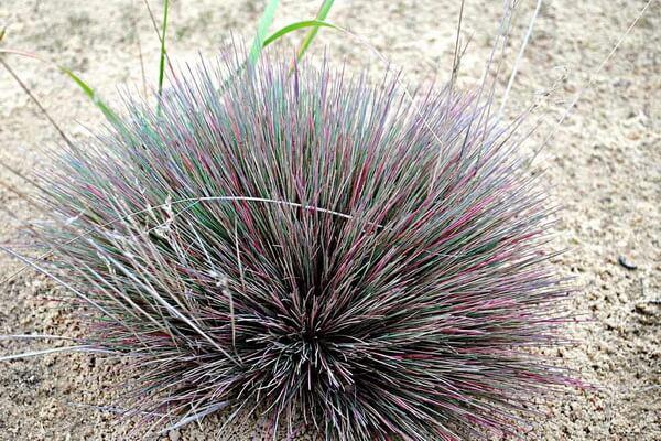 Растения Куршской косы с фото и описанием - Булавоносец седоватый