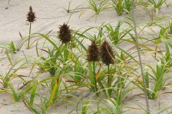 Растения Куршской косы с фото и описанием - Осока песчаная