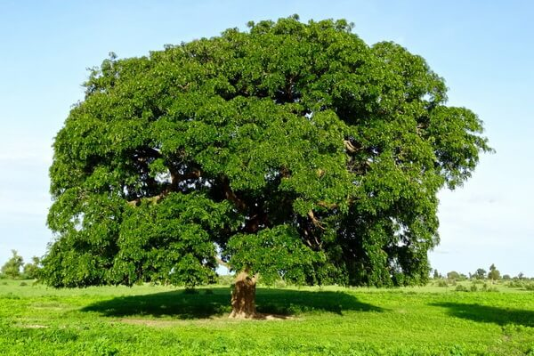Растения Нигерии с фото и описанием - Турреантус африканский (аводире)