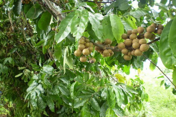 Растения Нигерии с фото и описанием - Чёрная или душистая гуария (обобо)