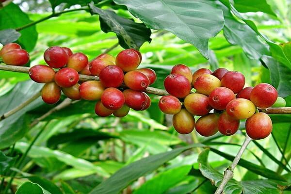 Растения Нигерии с фото и описанием - Кофе конголезский (робуста)