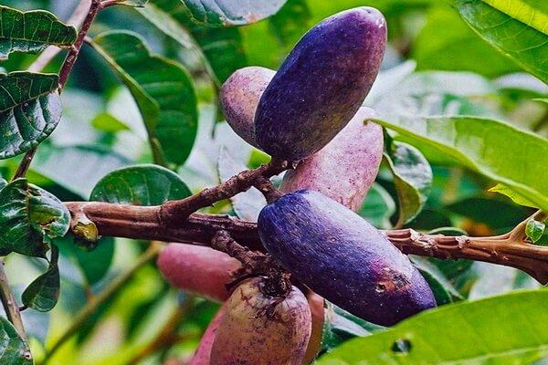 Растения Нигерии с фото и описанием - Дакриодес съедобный или африканская слива