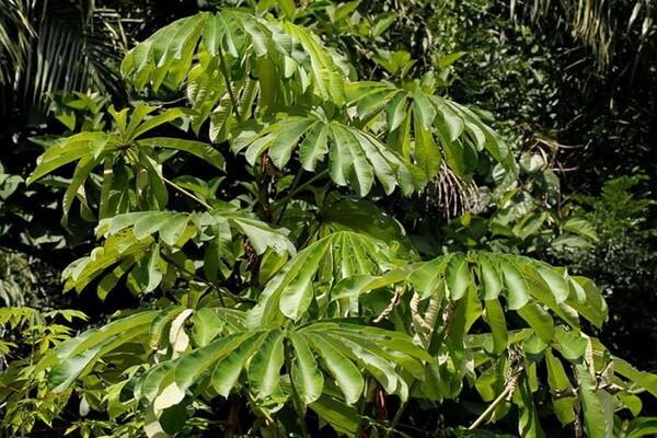 Растения Нигерии с фото и описанием - Африканское пробковое или зонтичное дерево