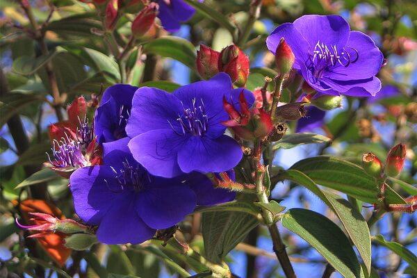 Растения Бразилии с фото и описанием - Цветок принцессы (Тибухина Урвилля)