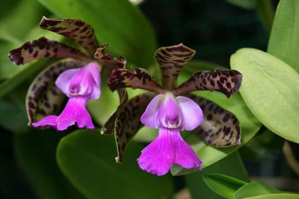 Растения Бразилии с фото и описанием - Каттлея Акланда
