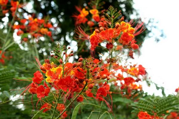 Флора Бразилии - Пау-бразил (Цезальпиния ежовая)