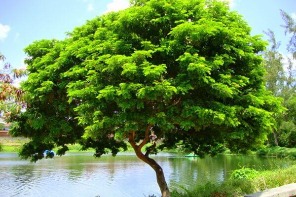 Растения Бразилии с фото и описанием - Пау-бразил (Цезальпиния ежовая)