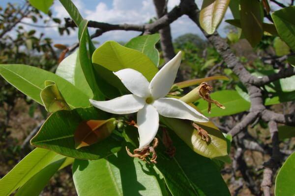 Растения Бразилии с фото и описанием - Ханкорния красивая