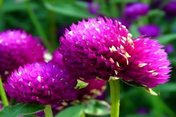 Растения Бразилии - Гомфрена шаровидная