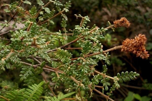 Растения Колумбии - Дерево Encenillo (Weinmannia tormentosa)