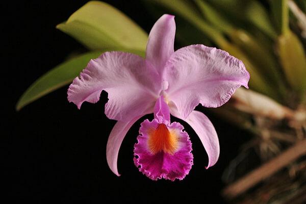 Национальный цветок Колумбии - Орхидея Каттлея Трианы