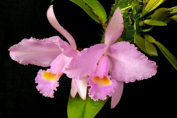 Растения Колумбии с фото и описанием - Каттлея Трианы (Флор-де-Майо)