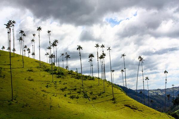 Флора Колумбии - Киндиойская восковая пальма