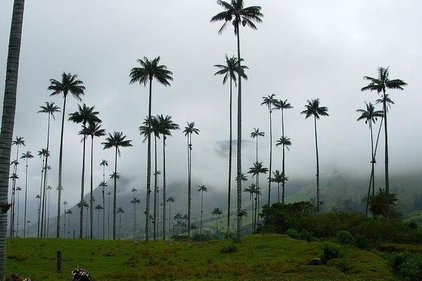 Растения Колумбии с фото и описанием - Киндиойская восковая пальма (Ceroxylon quindiuense)
