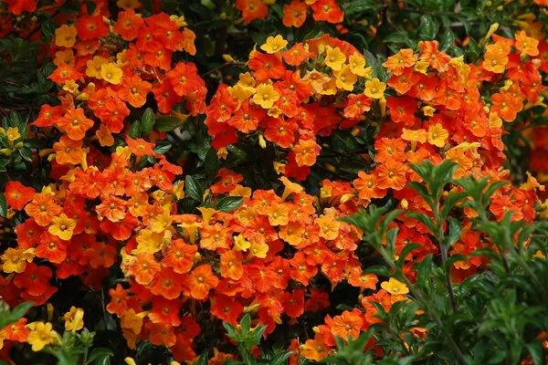 Растения Колумбии с фото и описанием - Мармеладный куст (Стрептосолен Джеймсона)