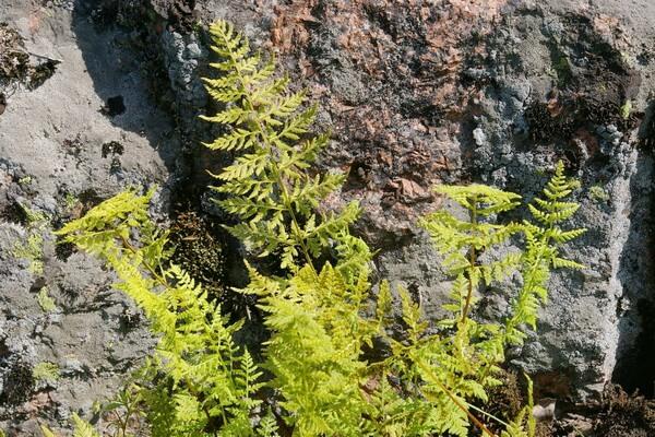 Растения Гренландии - Пузырник ломкий