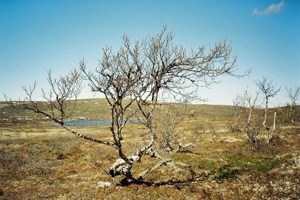 Растения Гренландии - Берёза железистая (американская карликовая берёза)