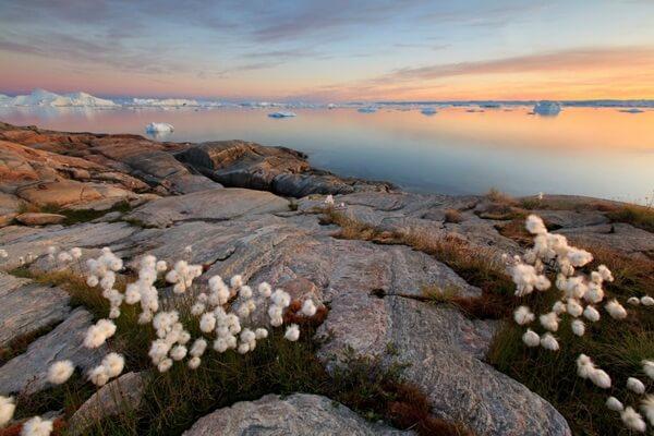 Флора Гренландии - Пушица Шейхцера