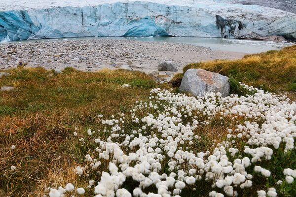 Растения Гренландии с фото и описанием - Пушица Шейхцера