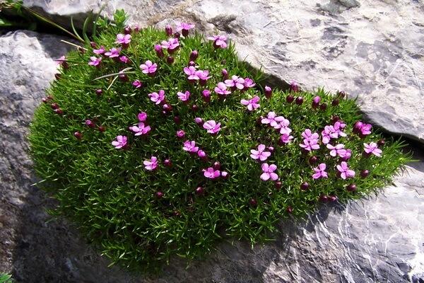 Флора Гренландии - Смолёвка бесстебельная