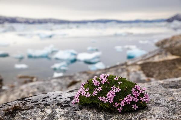 Растения Гренландии с фото и описанием - Смолёвка бесстебельная