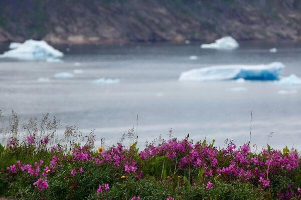 Национальное растение Гренландии - Кипрей широколистный