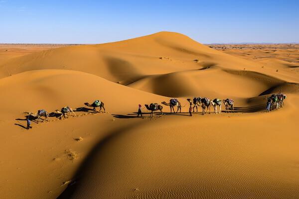 Основные виды верблюдов