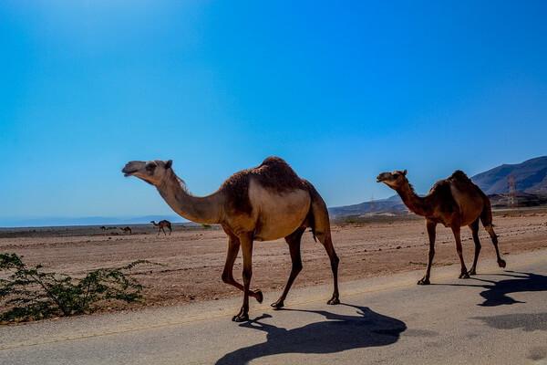 Одногорбые - Дромадеры или арабские верблюды