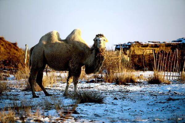 Виды верблюдов - Бактриан или двугорбый верблюд