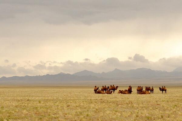 Виды верблюдов - Хаптагай или дикий двугорбый верблюд