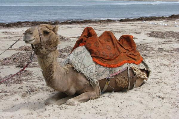 Верблюды в Австралии