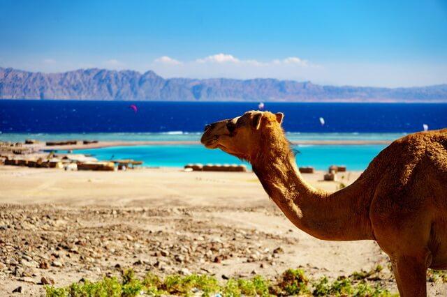 Где живут верблюды - основные их виды и места обитания