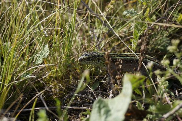 Ящерицы на горе Тотоха