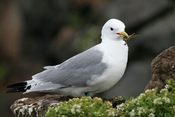 Хитрости птиц - Уловки глупышей