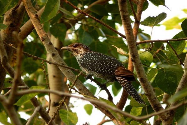 Хитрости птиц - Уловки кукушки