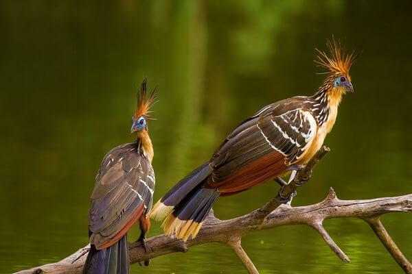 Хитрости птиц - Уловки гоацина