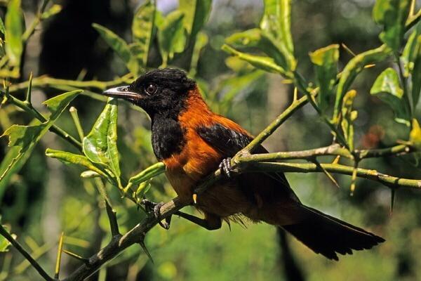 Хитрости птиц - Ядовитая питоху
