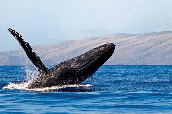 Наблюдение за китами на Гавайях