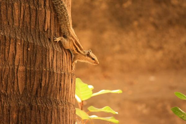 Индийская белка - фото