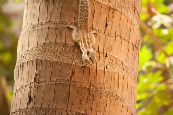 Пальмовая белка