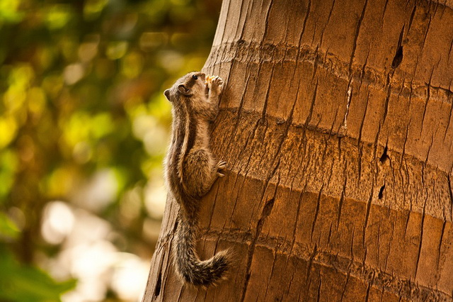 Пальмовая (индийская) белка