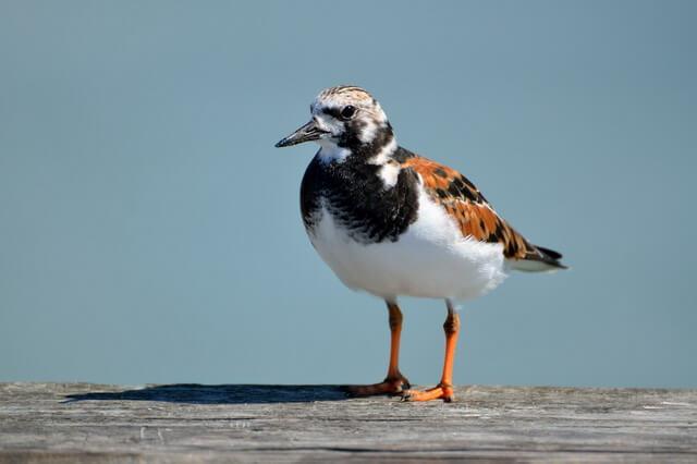 Камнешарка - фото и описание птицы