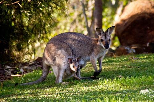 Как кенгуру защищаются от врагов